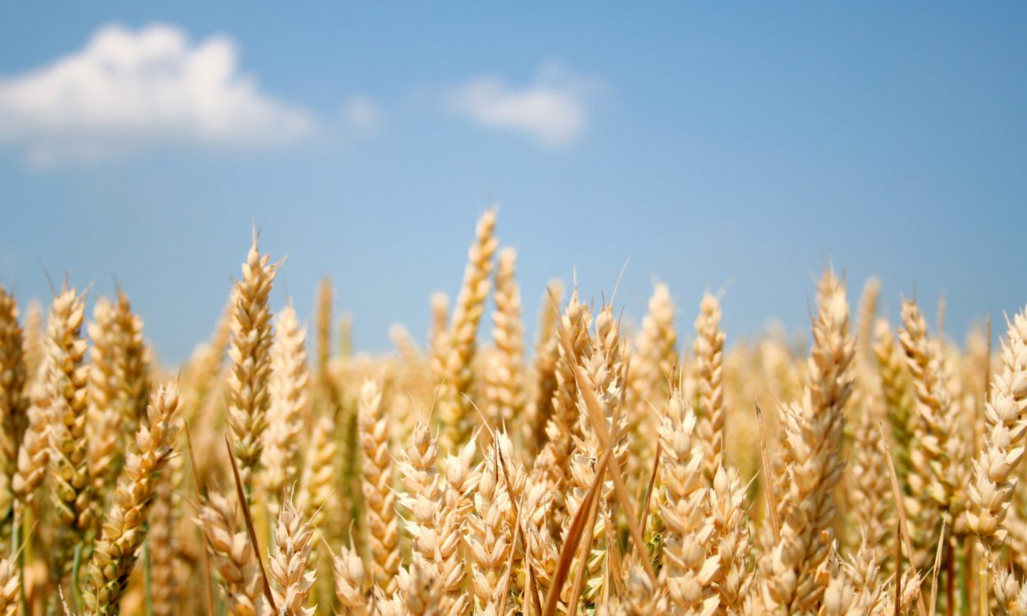 A corn of wheat